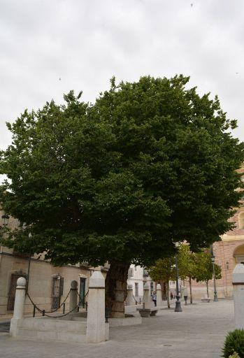 Árbol del Milagro, Plaza del Santuario de Ntra Sra de la Caridad