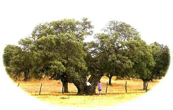 Árboles, encina Doña Germana