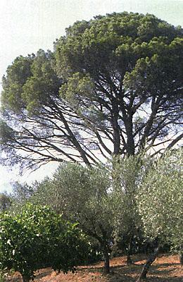 Árboles, pino piñonero del Tío Isabelo