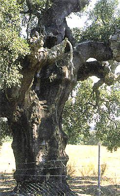 Árboles, alcornoque