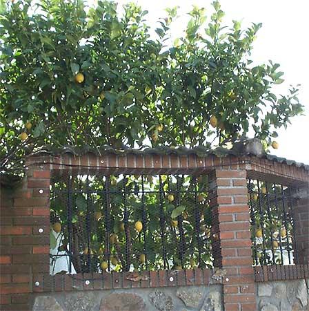 Jardín, limonero