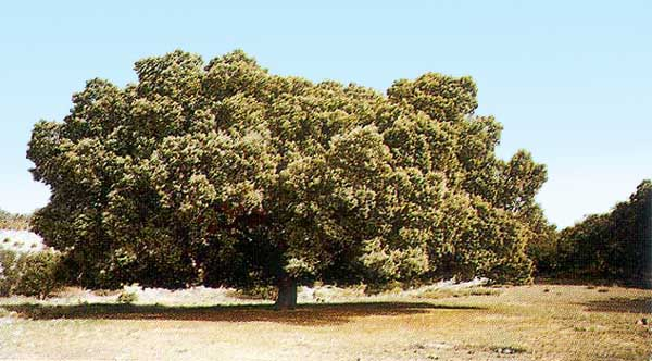 Árboles, la encina famosa - Mata Grande de Portillo -