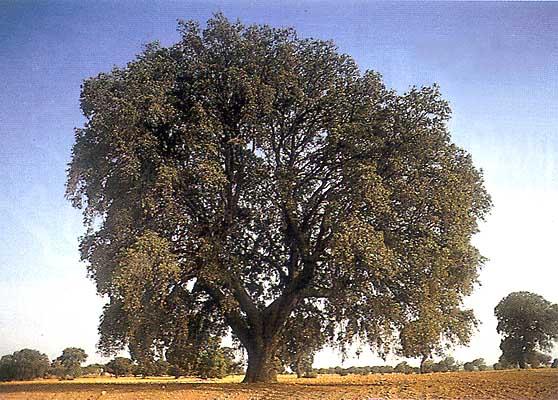 Árboles, la encina famosa - Miguelito -