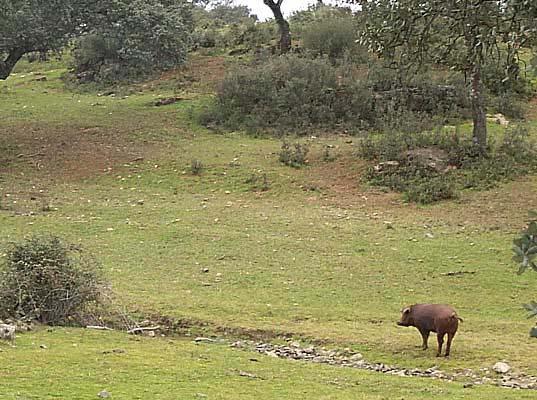 Ejemplar de cerdo ibérico en los campos de Montesclaros