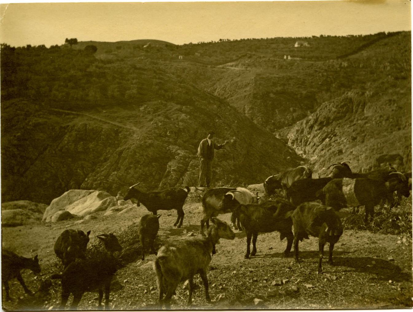m.-Rebaño de cabras en paraje sin identificar